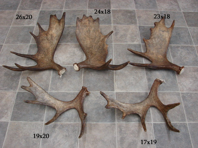 Natural Real Antlers