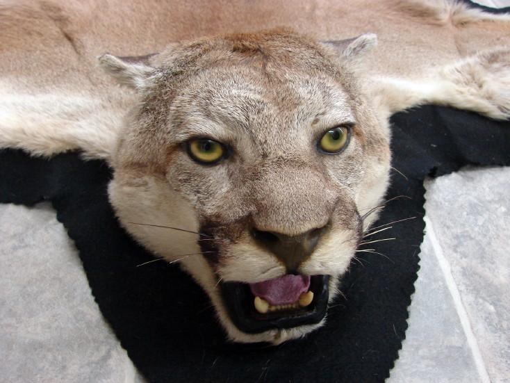 Real Mountain Lion Cougar Taxidermy Fur Pelt Rug Wall Hanging, Moose-R-Us.Com Log Cabin Decor