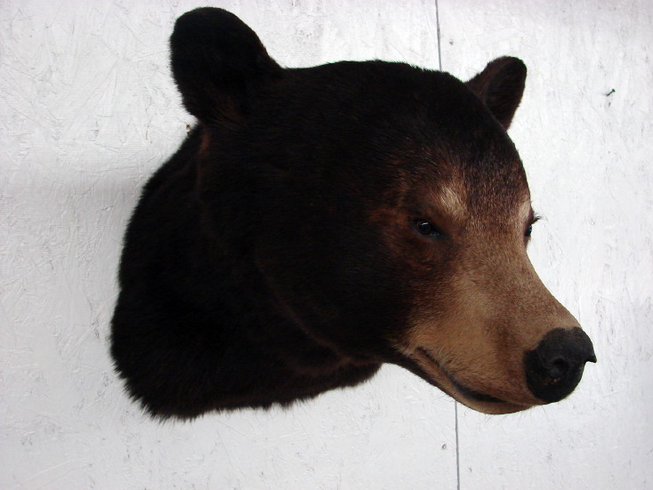 Real Black Bear Shoulder Mount Taxidermy Wall Mount, Moose-R-Us.Com Log Cabin Decor