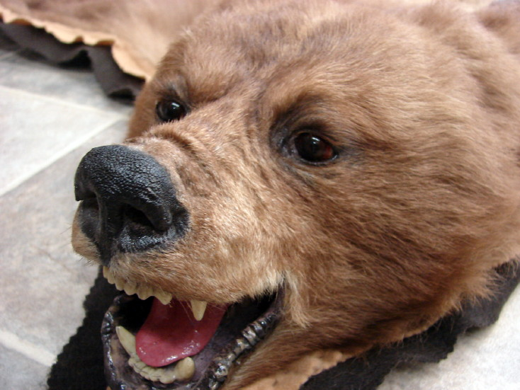 Real Grizzly Bear Rug Taxidermy Hide Blonde Pelt Fur Juvenile, Moose-R-Us.Com Log Cabin Decor